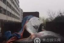 买8吨重鲸鱼喂狗 网友:这是病得吃药